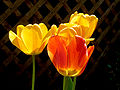 Unidentified Tulip Tulipa Yellow Flowers 2048px.jpg