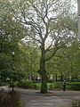 UoL Tree October 22 2011.jpg