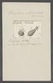 Urceolaria utriculata - - Print - Iconographia Zoologica - Special Collections University of Amsterdam - UBAINV0274 113 21 0019.tif