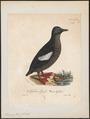 Uria grylle - 1825-1834 - Print - Iconographia Zoologica - Special Collections University of Amsterdam - UBA01 IZ17800281.tif