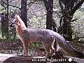 Urocyon cinereoargenteus scottii.jpg