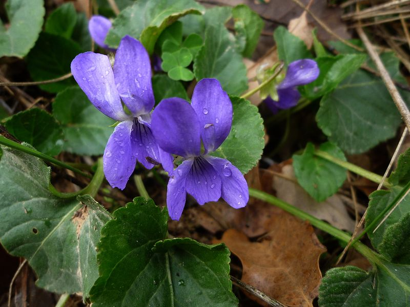 File:VIOLA SYLVESTRIS - SANT DONAT - IB-382 (Viola silvestre).JPG