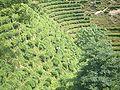 VM 5338 Muyu Tea plantations on valley slopes north of town.jpg