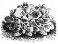 Valériane d'Alger Vilmorin-Andrieux 1883.png