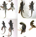 Variation in Liolaemus nigromaculatus specimens - ZooKeys-294-037-g005.jpeg