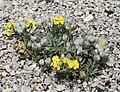 Velebitska degenija Botanicki vrt PMF 3 080509.jpg