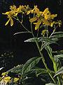 Verbesina alternifolia - Wingstem 2.jpg