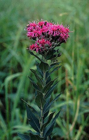 Vernonia - Vernonia baldwinii