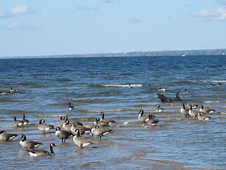 Oneida Lake - Canada geese gather to migrate on Oneida Lake at Verona Beach State Park