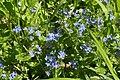 Veronica chamaedrys 135076609.jpg