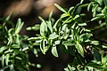 Veronica glaucophylla in Christchurch Botanic Gardens 03.jpg