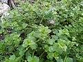 Veronica hederifolia ivry 1.jpg