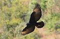 Verreaux's Eagle. Black Eagle, Aquila verreauxii (13896124917).jpg