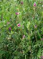 Vicia angustifolia2.jpg