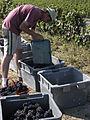 Vigne Pinot noir (Récoltes) Cl.J.Weber (23309760959).jpg