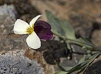 Viola hallii.jpg