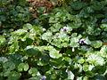Viola hederacea.jpg