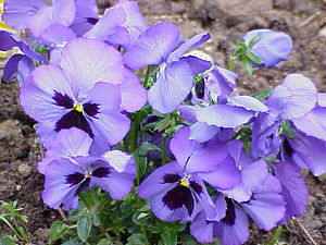 Violales - Viola tricolor