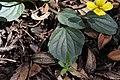 Viola utahensis.jpg