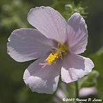 Virginia Saltmarsh Mallow 2.jpg
