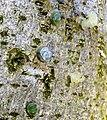 Viscum album seeds on Lime tree bark, Chapeltoun, Ayrshire.jpg