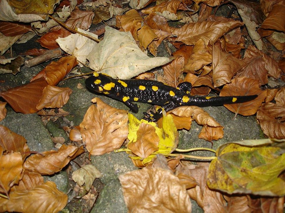 Vitosha Salamander 1
