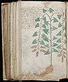 Voynich Manuscript (174).jpg