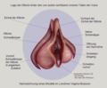 Vulva und Klitoris.png