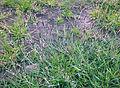 Wały wiślane w Brześcach 1.jpg