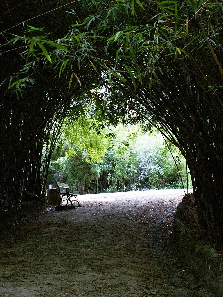 Dans un bosquet de bambous du jardin botanique de Lisbonne - Photo de Pedro from Maia