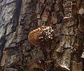 Wasp egg chamber - Flickr - gailhampshire.jpg