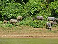 Water Buffaloes on the way to Taman Negara NP (8676075082).jpg