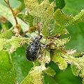 Weevil. Curculionidae. - Flickr - gailhampshire (2).jpg