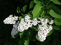 Weißer Flieder Blüten.jpg