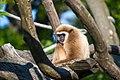Weißhandgibbon (Hylobates lar).jpg
