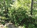 Wellesley College Botanic Gardens - DSC09782.JPG