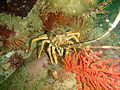 West coast rock lobster at Rocky Bay PB022157.JPG