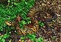 Western Cottonmouth (Agkistrodon piscivorus leucostoma) (14890558165).jpg