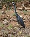 Western Reef Egret (Egretta gularis) W IMG 6900.jpg