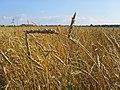 Wheat Tomsk.jpg