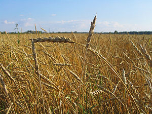 Food industry of Russia - Wheat in Tomsk, Siberia, Russia