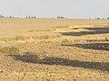 Wheat field near Sapir college firebombe kite damage 516.jpg