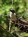 White-browed Sparrow-weaver Plocepasser mahali in Tanzania 1648 Nevit.jpg