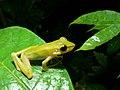 White-lipped Frog (Hylarana raniceps) (6748201045).jpg