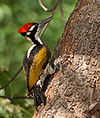 White-naped Woodpecker (Chrysocolaptes festivus) in Hyderabad W IMG 7547