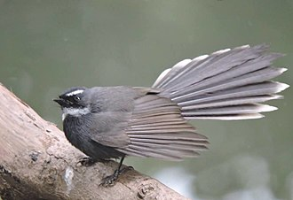 White-throated fantail - Image: White throated fantail, traffic park , chandigarh, Indiia
