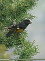 White-winged Grosbeak (Mycerobas carnipes) (22618874309).jpg