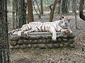 White Tigers at Bannerghatta National Park 4-24-2011 12-23-31 PM.JPG