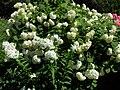 White flowers 2007 2.JPG