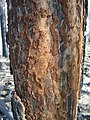 WildFireAreaNHorken0709-Fire&incectsScars.JPG
